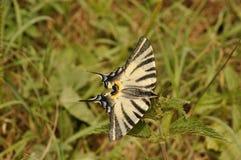 加拿大swallowtail老虎 免版税库存图片