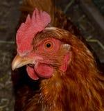 更加接近小的红色的母鸡 免版税库存图片