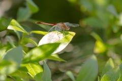 更加接近的观点的公红宝石Meadowhawk蜻蜓 免版税库存照片