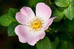 更加接近野玫瑰果的花 库存照片
