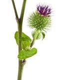 更加极大的植物名 免版税图库摄影