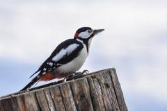 更加极大的被察觉的啄木鸟 免版税库存图片