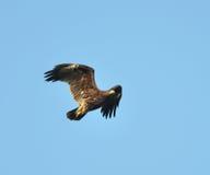 更加极大的被察觉的老鹰 库存图片