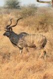 更加极大的kudu 免版税图库摄影