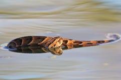 加法器,夜-毒和危险蛇从非洲的wilds 免版税库存照片