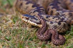 加法器berus蝰蛇属年轻人 免版税图库摄影