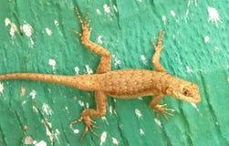 加泰罗尼亚的蜥蜴 库存照片