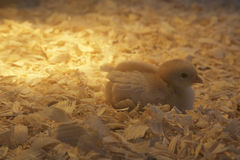 加热灯温暖休息在它的小屋的一只新出生的小鸡 库存照片