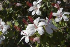 更加狂放的白色夏威夷与桃红色雄芯花蕊的木槿arnottianus唯一木槿 免版税图库摄影