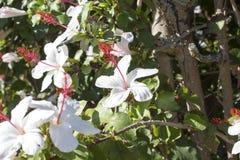 更加狂放的白色夏威夷与桃红色雄芯花蕊的木槿arnottianus唯一木槿 免版税库存照片