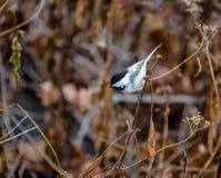 黑加盖的山雀鸟在中央公园-纽约,美国 免版税库存照片
