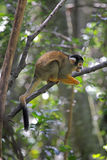黑加盖的松鼠猴子(松鼠猴属boliviensis) 库存图片