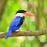 黑加盖的翠鸟鸟 库存照片
