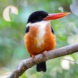 黑加盖的翠鸟 免版税图库摄影