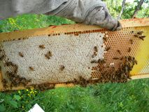 加盖的蜂蜜、花蜜和蜂蜡在Langstroth框架 库存图片