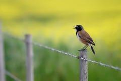 加盖的麦翁之类的鸣禽 免版税库存图片
