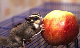 加糖澳大利亚负鼠红色,苹果,水多,鲜美,蛋白质, 免版税库存照片