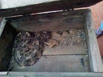 加蓬蛇蝎 免版税图库摄影