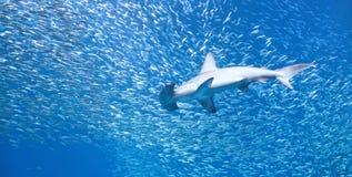 加调料烘烤的双髻鲨(锤骨鱼类lewini)在鱼学校  库存照片