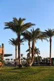 洪加达,埃及- 2013年10月14日:美丽的棕榈树在红海的岸的一家热带豪华旅馆里 免版税库存图片