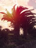加那利群岛反对太阳光芒的枣椰子树剪影  免版税库存图片