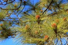 加那利群岛在大加那利岛海岛,西班牙内部的杉木森林 库存照片