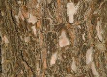 加那利群岛杉木树干  库存照片