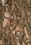 加那利群岛杉木树干  免版税库存图片
