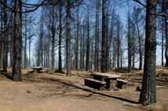 加那利群岛杉木被烧的森林  免版税图库摄影