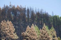 加那利群岛杉木被烧的森林  库存图片