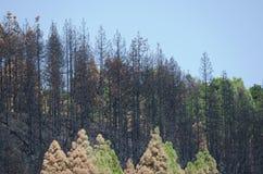 加那利群岛杉木被烧的森林  图库摄影