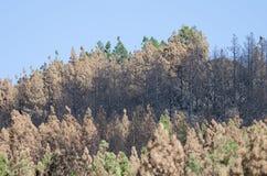 加那利群岛杉木被烧的森林  库存照片