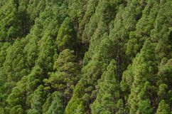 加那利群岛杉木 免版税库存图片