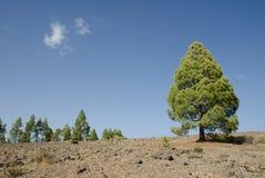 加那利群岛杉木 库存照片