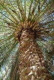 加那利群岛枣椰子树 图库摄影