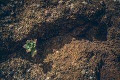 加那利群岛植物在山上面的 库存照片
