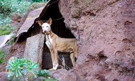 加那利群岛猎犬 免版税库存图片