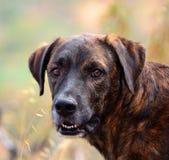 加那利群岛的狗面孔 库存照片