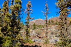 加那利群岛自然公园西班牙 树和道路向山 免版税库存照片