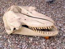 加里宁格勒,俄国 一年轻cachalot的头骨在世界海洋的博物馆 免版税库存图片
