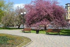 加里宁格勒,俄国 与blosoming的Nedzvetsky ` s苹果树的春天正方形 免版税库存图片
