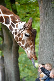 加里宁格勒,俄国 孩子在动物园里喂养滤网长颈鹿camelopardalis reticulata Linnaeus长颈鹿  库存图片