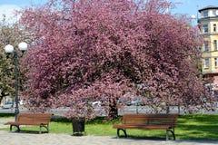 加里宁格勒,俄国 开花的Nedzvetsky ` s苹果树在城市广场 库存照片