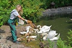 加里宁格勒,俄罗斯 动物园的工作者哺养水鸟 库存照片