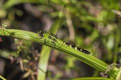 更加绿色织补的蜻蜓- Anax junius 库存照片