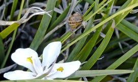 移动下来在一片狭窄的叶子的蜗牛 库存图片