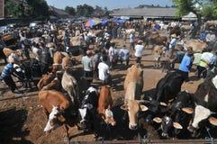 活动在传统母牛市场上在Eid Al的准备Adha时在印度尼西亚 库存图片