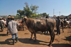 活动在传统母牛市场上在Eid Al的准备Adha时在印度尼西亚 免版税图库摄影