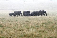 移动在雨中的非洲大象牧群  库存照片