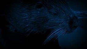移动在水中的海狸在晚上 影视素材